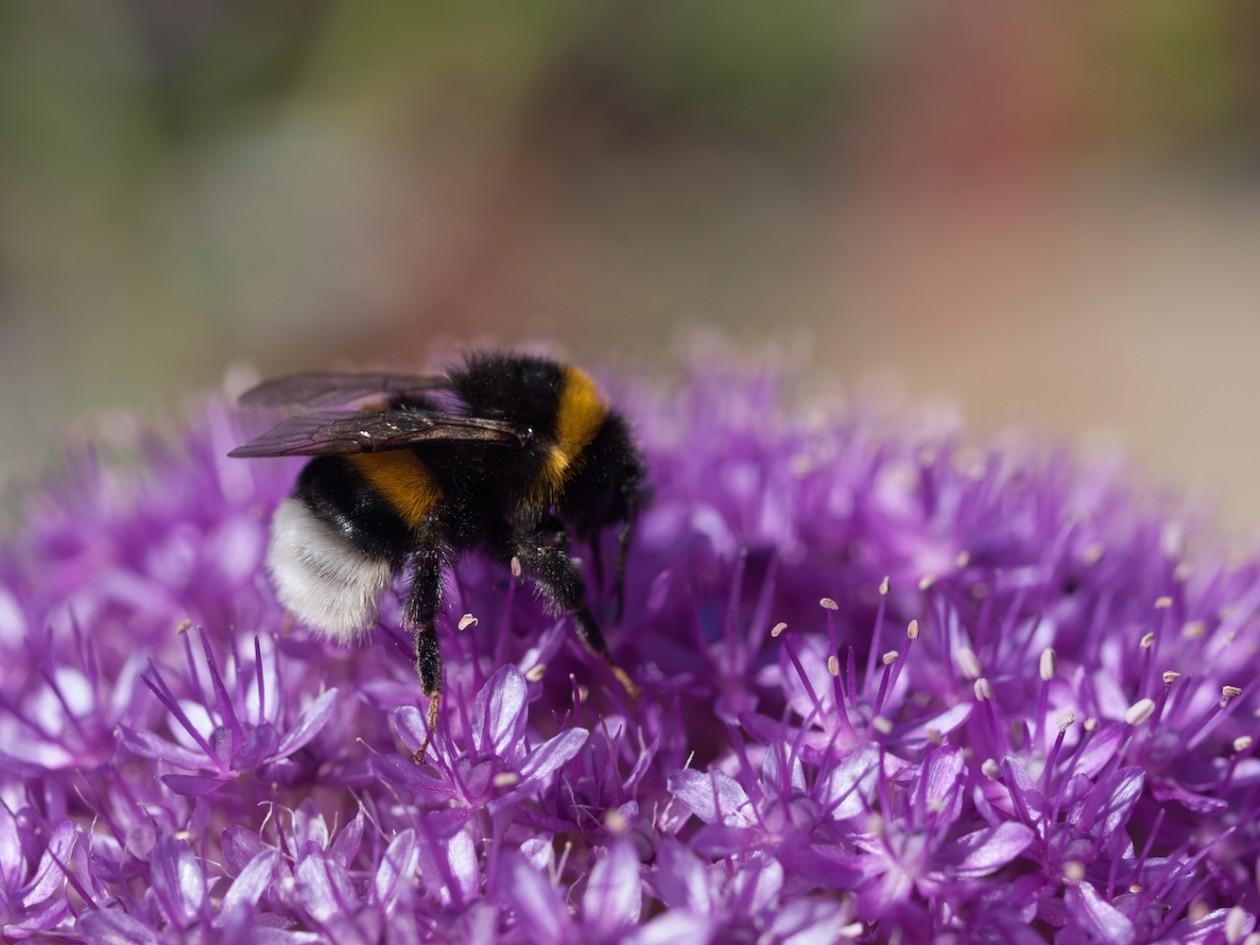 Planter for humler og bier