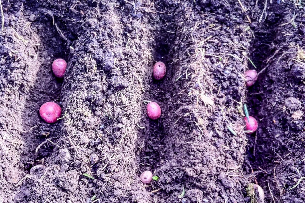 Hvordan plante poteter